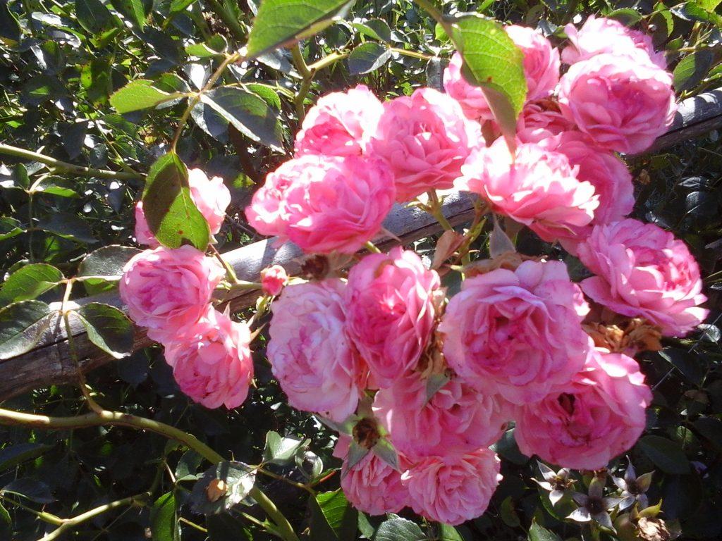 Roses de Montain santé humaniste